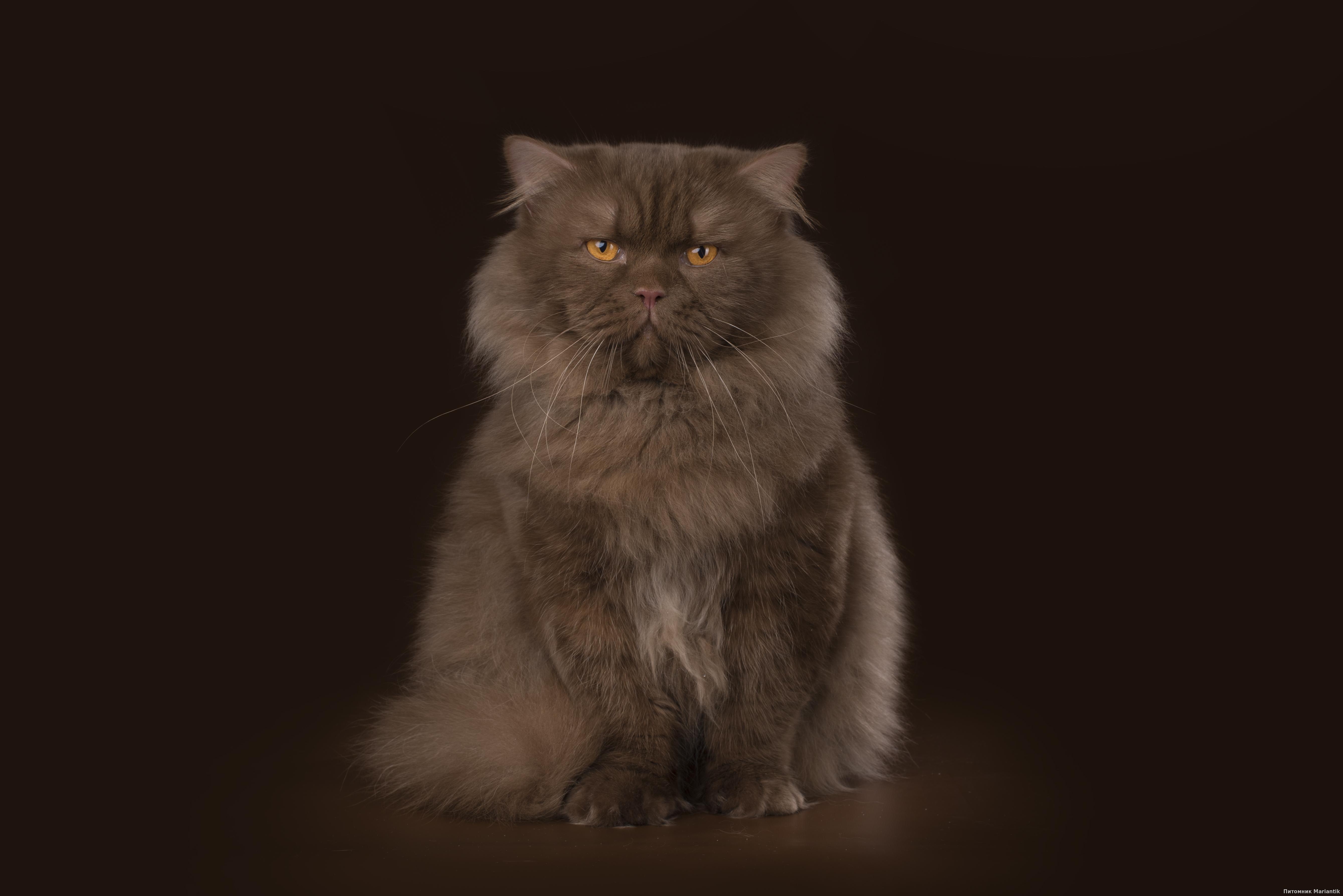 британский длинношерстный кот окраса циннамон питомник Mariantik